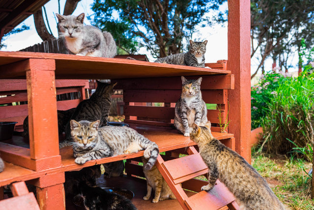 "This Hawaiian cat sanctuary has created an ""island paradise"" for the state's stray cats. Although most people would take a trip to one of the Hawaiian Islands' many heavenly sights, Andrew Marttila, 32, and his partner, Hannah Shaw, 30, wanted to visit something more unusual. They decided to take a trip to the Lanai Cat Sanctuary, which is currently home to more than 500 felines. Here: Several cats relaxt at the shade at the Lanai Cat Sanctuary in Hawaii. (Photo by Andrew Marttila/Caters News Agency)"