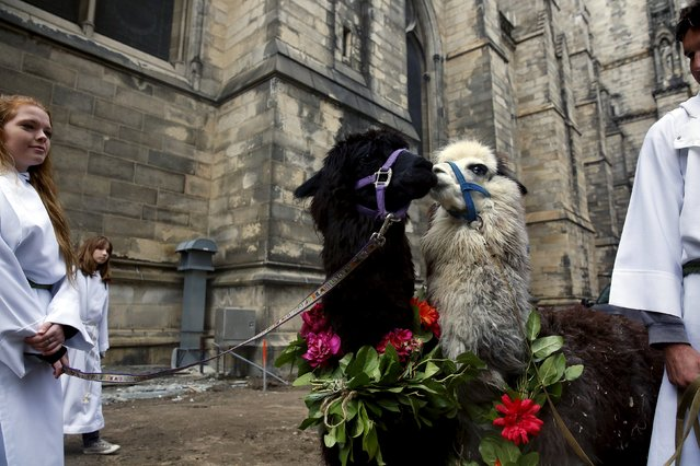 Alpacas wait with handlers from the Dawn Animal Agency Sanctuary for the procession of the animals at the 31st annual Feast of Saint Francis and Blessing of the Animals at The Cathedral of St. John the Divine in the Manhattan borough of New York on October 4, 2015. (Photo by Elizabeth Shafiroff/Reuters)