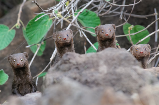 Surprise smiles, Lake Bogoria, Kenya. While walking on trail at the southern side of Lake Bogoria, the photographer spotted a group of dwarf mongooses. (Photo by Asaf Sereth/Comedy Wildlife Photography Awards 2020)