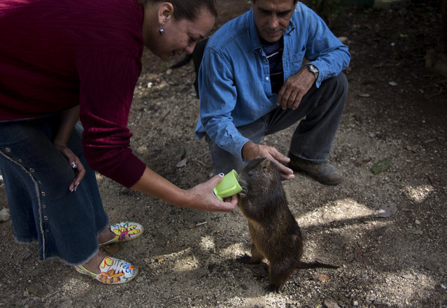 In this November 17, 2014 photo, Ana Pedraza gives her pet huitia, Congui, a drink of coffee, in Bainoa, Cuba. Five years ago Pedraza and her husband Rafael Lopez, right center, adopted Congui, their first pet huitia, a large rodent that lives in Cuba, Jamaica, Bahamas and some of the smaller Caribbean islands. (Photo by Ramon Espinosa/AP Photo)