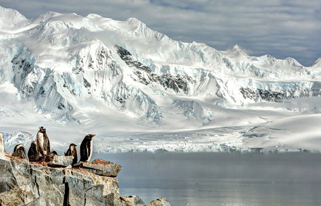 """Breeding Penguins"". Photo by Neal Piper (Washington, DC). Photographed at Damoy Point, Antarctica, January 2012."