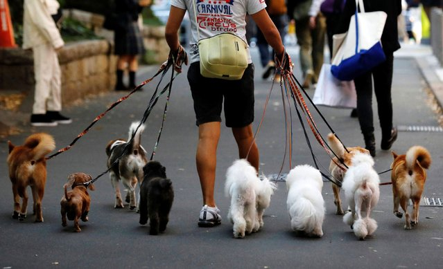 Dog walker Nobuaki Moribe takes a walk with dogs in Tokyo, Japan on October 14, 2020. (Photo by Kim Kyung-Hoon/Reuters)