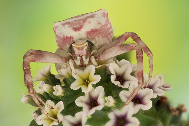 A flower crab spider, shot in Saudi Arabia by Mofeed Abu Shalwa. The flower crab spider can alter the colour of its body to blend in with its surroundings. (Photo by Mofeed Abu Shalwa/Luminar Bug Photographer of the Year 2020)