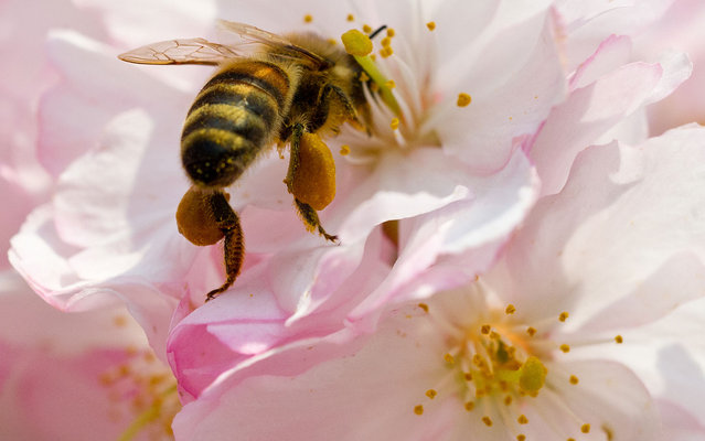 A bee collecting pollen in flowers of a cherry tree in Potsdam, Germany, on April 22, 2013. (Photo by Patrick Pleul/AFP Photo)