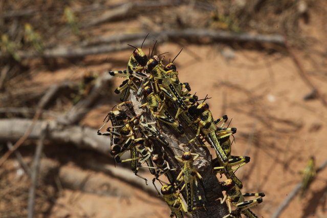 Billions of newly hatched locusts are spreading throughout Israel's South. (Photo by Eliahu Hershkovitz/Haaretz)
