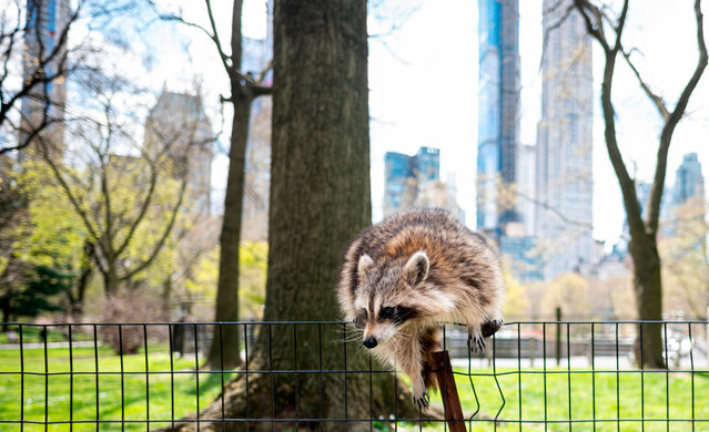 A racoon jumps over a fence in almost deserted Central Park in Manhattan on April 16, 2020 in New York City. Gone are the softball games, horse-drawn carriages and hordes of tourists. In their place, pronounced birdsong, solitary walks and renewed appreciation for Central Park's beauty during New York's coronavirus lockdown. The 843-acre (341-hectare) park – arguably the world's most famous urban green space – normally bustles with human activity as winter turns to spring, but this year due to Covid-19 it's the wildlife that is coming out to play. (Photo by Johannes Eisele/AFP Photo)