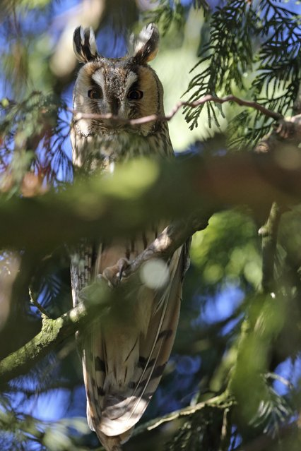 A long-eared owl sits on a branch of a pine tree at an equestrian center in Cagnoncles near Cambrai, northern France January 5, 2015. Seven long-eared owls took up residence in a pine tree at an equestrian center as the long-eared owls congregate in winter in large conifers and form dormitories. (Photo by Pascal Rossignol/Reuters)