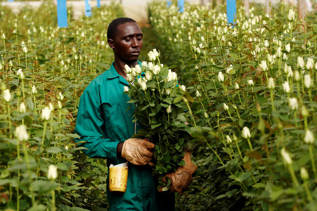 A worker picks flowers designated for export at a farm near the town of Thika, Kenya April 27, 2018. (Photo by Baz Ratner/Reuters)