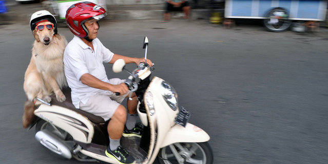 Cool rider Ace on the back on the motorbike, on January 12, 2015, in Surabaya, Indonesia. (Photo by Jefta Images/Barcroft Media/ABACAPress)