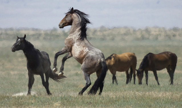 In this Wednesday, July 18, 2018, photo, a wild horse jumps among others near Salt Lake City. (Photo by Rick Bowmer/AP Photo)