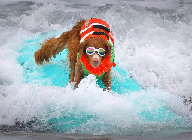 """""""Jessi"""", April Pasko's Nova Scotia duck tolling retriever, of Encinitas, rides the waves during the 2018 Imperial Beach Surf Dog Competition next to the Imperial Beach Pier in San Diego, California on July 28, 2018. (Photo by Howard Lipin/San Diego Union-Tribune via ZUMA Press/Rex Features/Shutterstock)"""