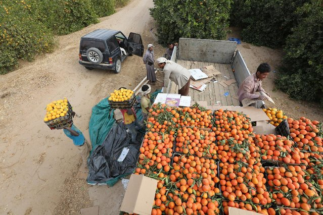 Workers load boxes of oranges on a truck from a farm in Yemen's war-torn northern city of Marib, Yemen December 28, 2015. (Photo by Ali Owidha/Reuters)