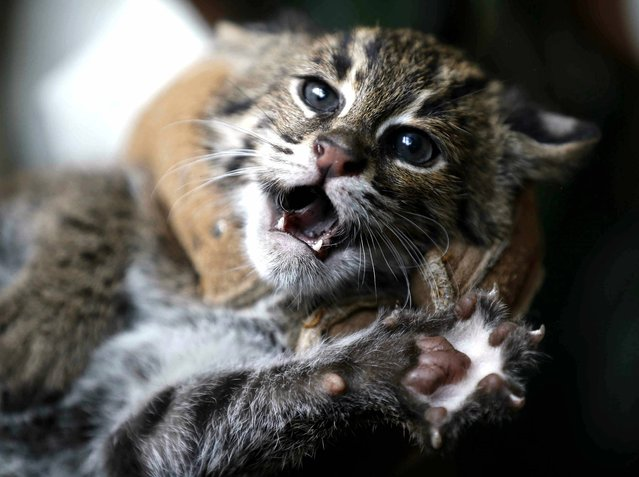 A zoo keeper holds one of three eight week old fishing cat cubs at the Zoo in Duisburg, Germany, on Wednesday, August 28, 2013. The cubs with webs on their paws are quite rare and belong to a threatened species. The cats are able to swim to chase for fish. (Photo by FrankAugstein/AP Photo)