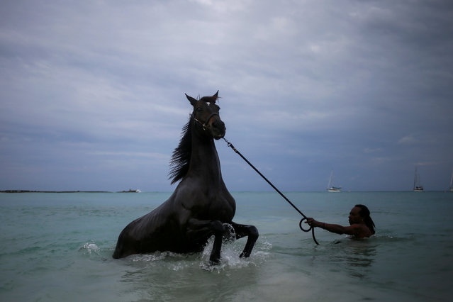 A handler baths a horse from the Garrison Savannah in the Caribbean Sea near Bridgetown, Barbados November 30, 2016. (Photo by Adrees Latif/Reuters)