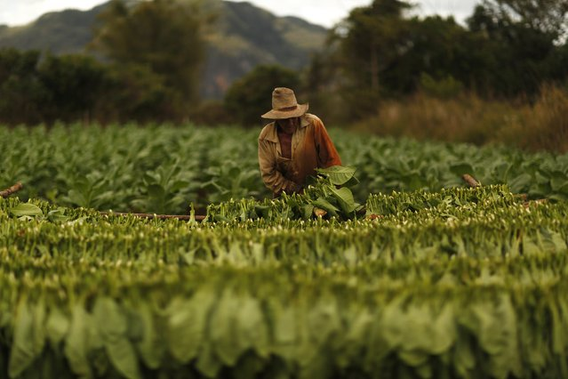 A farmer harvests tobacco leaves at a plantation in the valley of Vinales, in the western Cuban province of Pinar del Rio, January 27, 2015. (Photo by Pilar Olivares/Reuters)