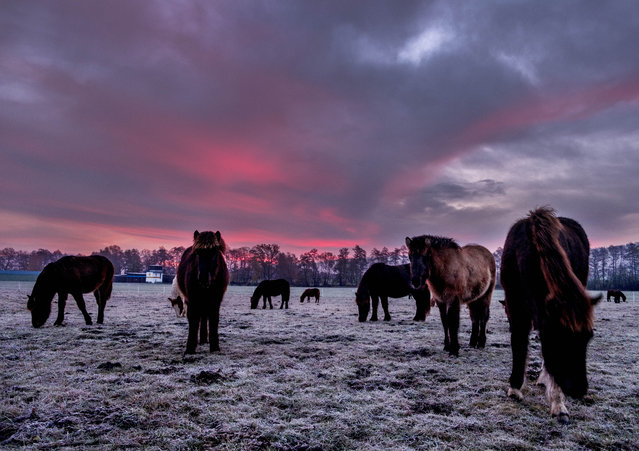 Iceland horses stand in their paddock in Wehrheim near Frankfurt, Germany, before sunrise on Sunday, November 24, 2019. (Photo by Michael Probst/AP Photo)