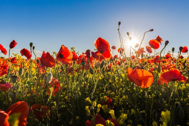 Poppies in Wakefield on July 31, 2016. (Photo by Dave Zdanowicz/Rex Features/Shutterstock)