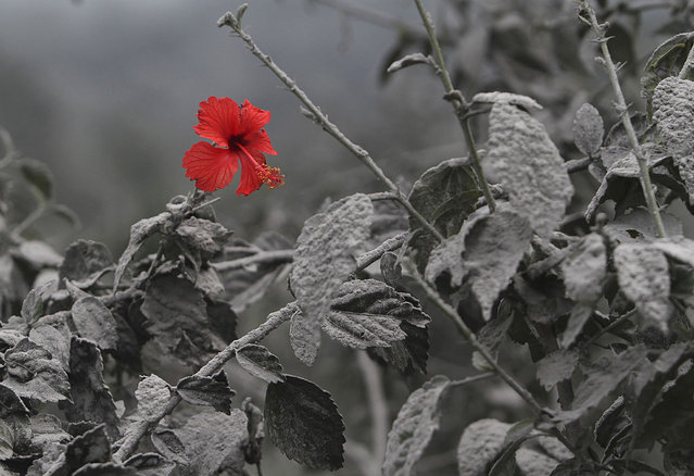 A hibiscus flower is seen on an ash-covered plant at Mardingding village in Karo district, Indonesia's north Sumatra province November 19, 2013. The volcano continued to emit volcanic ash on Monday, throwing an 8,000m (26,247 ft)-high plume into the atmosphere, as thousands of residents fearful of more eruptions remained in temporary shelters, according to local media. (Photo by Roni Bintang/Reuters)
