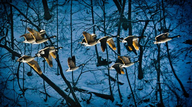 A group of Canada Geese fly over the Mississippi River in Minneapolis on Tuesday, December 10, 2013. Weather permitting, many Canada geese stay in Minnesota throughout the winter months although most migrate south. (Photo by Ben Garvin/AP Photo/The St. Paul Pioneer Press)