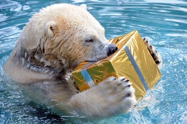 A polar bear opens a package filled with food and wrapped as a Christmas gift at the zoo in La Fleche, western France, on December 23, 2013. (Photo by Jean-Francois Monier/AFP Photo)