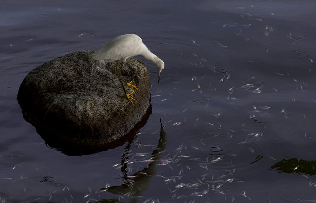 A bird perches on a rock surrounded by floating dead fish in the Rodrigo de Freitas lagoon in Rio de Janeiro, Brazil, Friday, December 21, 2018. About 21 tons of fish died in the Rio de Janeiro lagoon, while city authorities and biologists argue about the cause of the die-off. (Photo by Silvia Izquierdo/AP Photo)