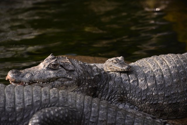Spectacled caimans (Caiman crocodilus) are seen at the Aurora zoo in Guatemala City on April 27, 2015. (Photo by Johan Ordonez/AFP Photo)
