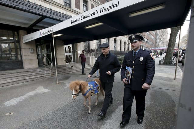 Handler Jorge Garcia-Bengochea holds Honor, a miniature therapy horse from Gentle Carousel Miniature Therapy Horses, while he walks with Patrolman Savvas Roumeliotis from the Middletown New jersey Police Department as they arrive to visit with patients at the Kravis Children's Hospital at Mount Sinai in the Manhattan borough of New York City, March 16, 2016. (Photo by Mike Segar/Reuters)