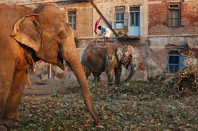 A mahout cleans the dust from his elephant in Ahmedabad, India, February 8, 2017. (Photo by Amit Dave/Reuters)