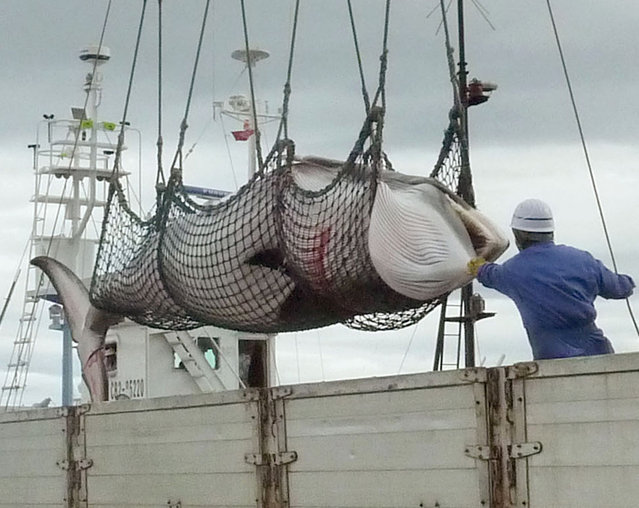 In this September, 2013 photo, a minke whale is unloaded at a port after a whaling for scientific purposes in Kushiro, in the northernmost main island of Hokkaido. (Photo by AP Photo/Kyodo News)