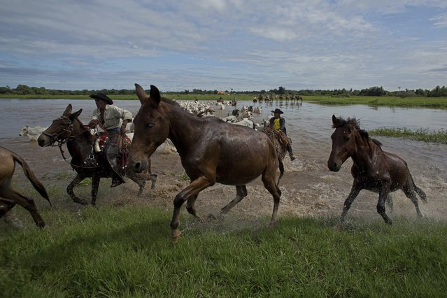 In this May 17, 2017 photo, cowboys guide oxen through a ford of the Taquari River in Corumba, in the Pantanal wetlands of Mato Grosso do Sul state, Brazil. Greener pastures grow under water in the Pantanal de Mato Grosso do Sul, an immense area of wetlands in western Brazil. (Photo by Eraldo Peres/AP Photo)