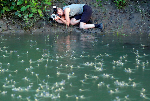 A photographer takes pictures of long-tailed mayflies (Palingenia longicauda) at Tisza river near Tiszakurt, Hungary, June 14, 2016. (Photo by Laszlo Balogh/Reuters)