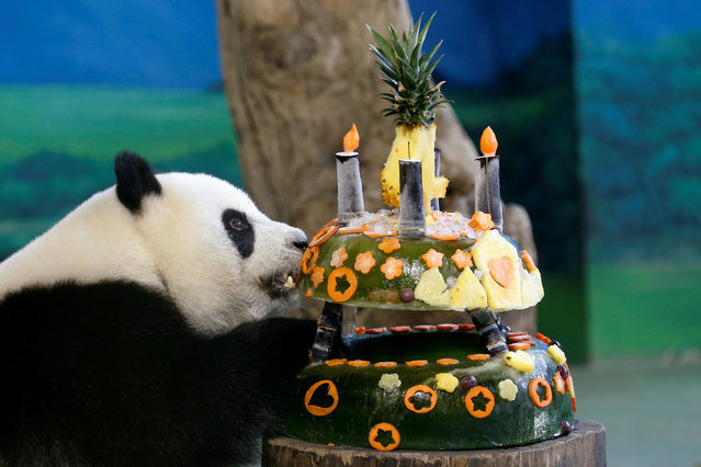 "A giant panda Yuan Zai eats her ""birthday cake"" made from ice and fruits at Taipei Zoo, in Taipei, Taiwan July 6, 2017. (Photo by Tyrone Siu/Reuters)"