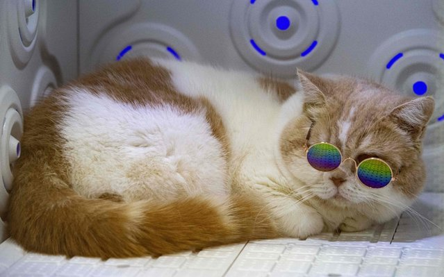 """A cat wering glasses lies in a pet dryer at the """"Pet Expo Championship"""" in Bangkok on August 30, 2019. (Photo by Mladen Antonov/AFP Photo)"""