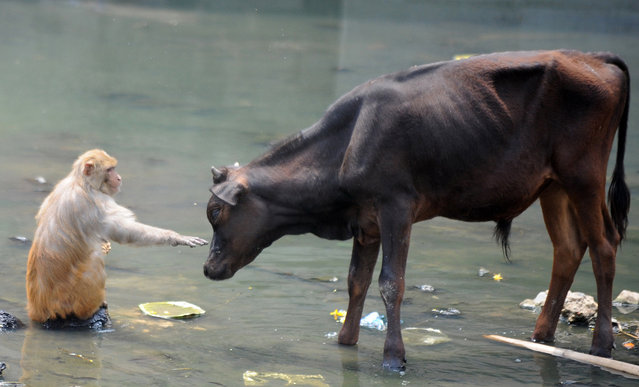 A monkey reaches out to a bull on the banks of the Bagmati river in Kathmandu on May 25, 2012