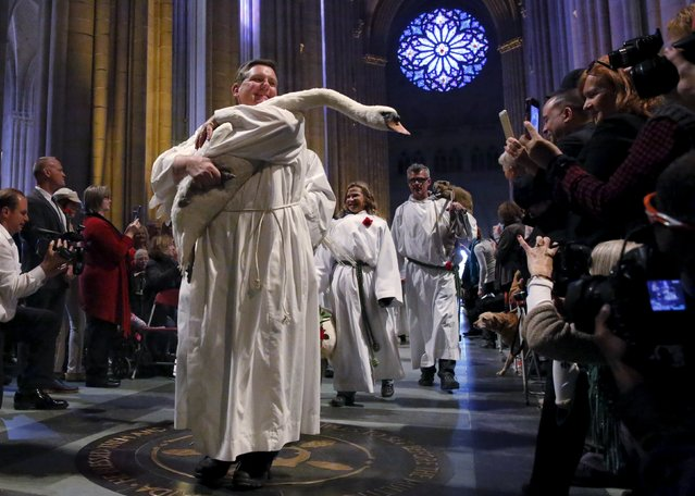 A swan is carried down the nave of the cathedral during the Procession of the Animals at the 31st annual Feast of Saint Francis and Blessing of the Animals at The Cathedral of St. John the Divine in the Manhattan borough of New York on October 4, 2015. (Photo by Elizabeth Shafiroff/Reuters)