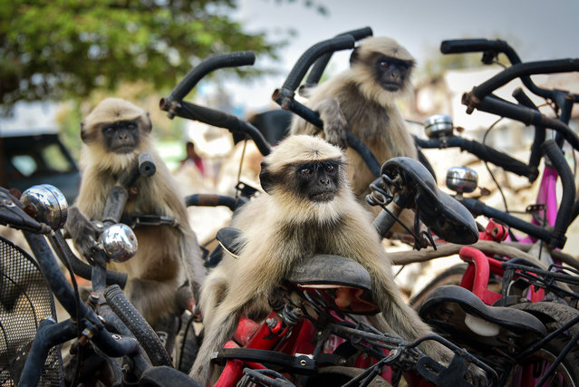 "The race, India. ""My friends and I walked in the centre of the small town of Hampi in India. There was bicycle parking nearby. Suddenly a flock of langurs jumped on these bicycles and began to frolic. We were afraid to frighten them away, I started taking pictures from afar, but then we came very close to them and the langurs continued to play with bicycles"". (Photo by Yevhen Samuchenko/Comedy Wildlife Photography Awards 2020)"
