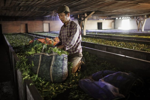 In this Sunday, November 16, 2014 photo, a Nepalese worker collects tea leaves before it is processed at Kanyam Tea Factory in Illam district, around 500 kilometers (310 miles) from Katmandu, Nepal. (Photo by Niranjan Shrestha/AP Photo)