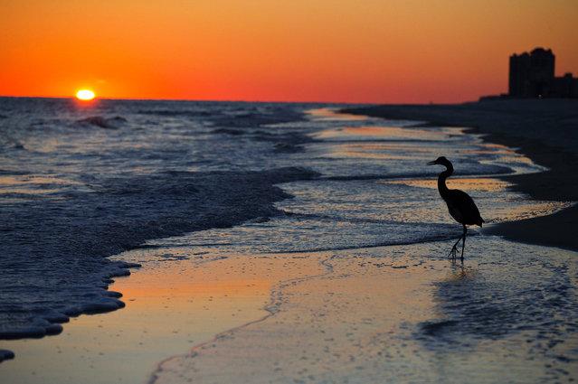 A blue herring walks along the beach at sunset, Wednesday, November 19, 2014, in Orange Beach, Ala. (Photo by Brynn Anderson/AP Photo)