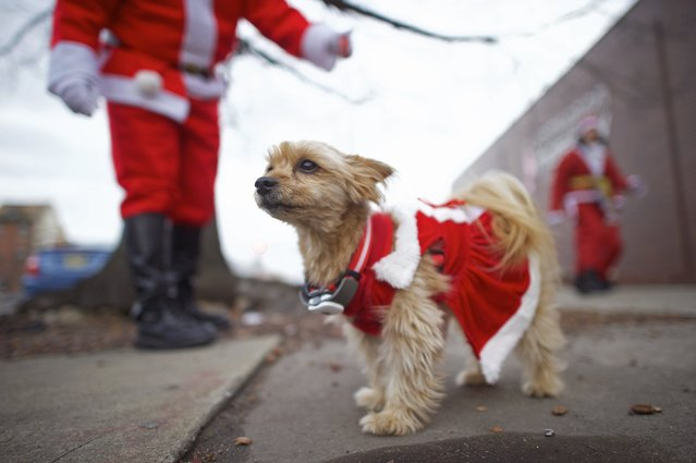"A dog named Maggie watches runners participate in the ""Running of the Santas"" in Philadelphia, Pennsylvania December 13, 2014. (Photo by Mark Makela/Reuters)"