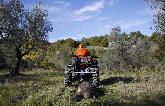 A dead wild boar is transported with a quad during a hunt in Castell'Azzara, Tuscany, central Italy, October 23, 2015. (Photo by Max Rossi/Reuters)