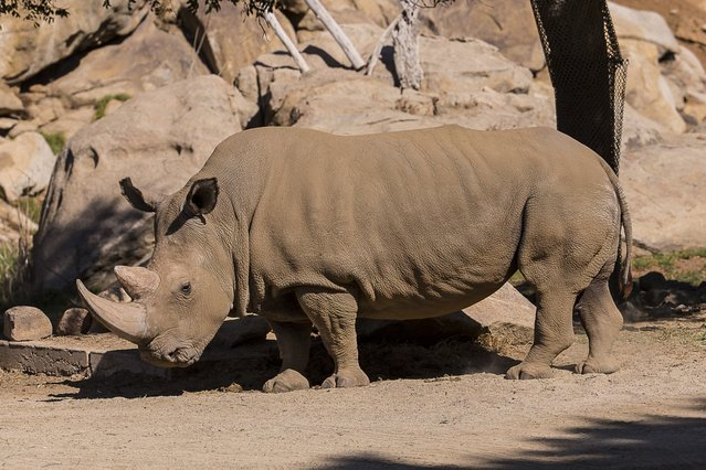 A northern white rhinoceros named Angalifu that died on Sunday is seen in this San Diego Zoo Safari Park handout photo released on December 15, 2014. Angalifu, one of only six northern white rhinoceros left on earth, died over the weekend at a San Diego zoo, bringing the species closer to extinction, zoo officials said on Monday. (Photo by Ken Bohn/Reuters/San Diego Zoo)