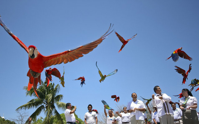Red macaws flying in the park Xcaret in the Mayan Riviera, near the city of Playa del Carmen, Mexico, on April 25, 2013. This bird is endangered in Mexico not only for the destruction of their habitat, but because of the illegal trade of the macaw. It is estimated that in the wild, its population is no more than 400 macaws. The scarlet macaw is also found in the rainforests of Colombia, Venezuela, Brazil and other nations. In Mexico, the largest number of scarlet macaws in the country is located in Xcaret Park. With about 1,000 copies, Xcaret is home to the densest population of macaws in Mexico: 100 couples of reproductive age. In 2009, the reproduction program reached 113 births, of which 105 are still living. Due to these births, Xcaret was creditor to the Guinness World Record in 2011 for the highest number of macaws bred in one year. This year, the program closed with 175 macaw births. (Photo by Elizabeth Ruiz/AFP Photo)