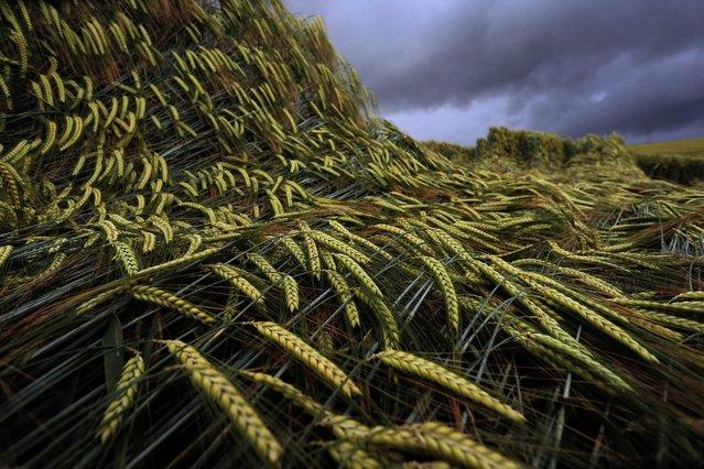 Spring barley in a field under clouds of rain in Erlenbach, Germany, 13 June 2016. (Photo by Karl-Josef Hildenbrand/EPA)