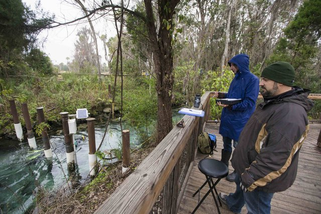 Observers count the number of people and manatees traveling in and out of the the Three Sisters Springs in Crystal River, Florida January 15, 2015. (Photo by Scott Audette/Reuters)