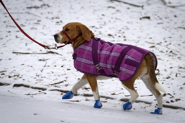 A dog walks with a jacket and booties in Central Park as it snows in the Manhattan borough of New York January 26, 2015. Winter Storm Juno has brought blizzard warning for New York and much of the North East United States. (Photo by Carlo Allegri/Reuters)