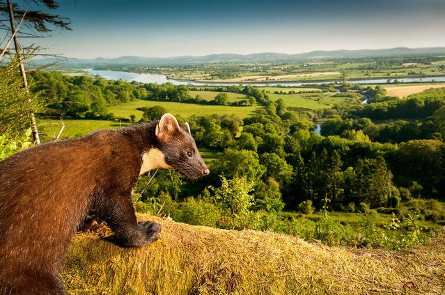 A pine marten – one of a few wild mammals doing well in Britain (although they number just 3,700). A fifth of the country's wild mammals are at high risk of extinction, research shows. (Photo by Maurice Flynn/The Mammal Society)