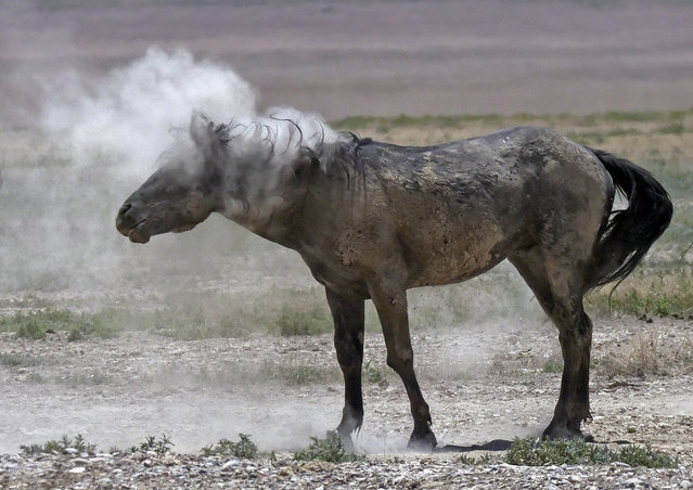 In this June 29, 2018 photo, a wild horse shakes off dust near a watering hole outside Salt Lake City. Harsh drought conditions in parts of the American West are pushing wild horses to the brink and forcing extreme measures to protect them. (Photo by Rick Bowmer/AP Photo)