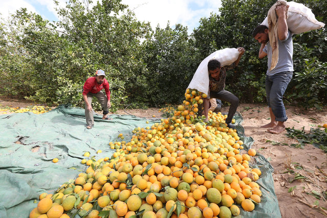 Workers collect oranges as they harvest at a farm in Yemen's war-torn northern city of Marib, Yemen December 28, 2015. (Photo by Ali Owidha/Reuters)