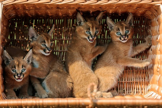 Four caracal cubs sit in a basket as they are presented to media for the first time at the Animal Park Zoo in Berlin, Friday, August 30, 2013. The caracals, also known as desert lynxes, were born in the Zoo on July 21, 2013. (Photo by Markus Schreiber/AP Photo)