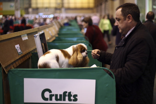 An owner tends to his Cavalier King Charles Spaniel on the fourth and final day of Crufts dog show at the National Exhibition Centre on March 8, 2015 in Birmingham, England.  First held in 1891, Crufts is said to be the largest show of its kind in the world. The annual four-day event, features thousands of dogs, with competitors travelling from countries across the globe to take part and vie for the coveted title of 'Best in Show'. (Carl Court/Getty Images)